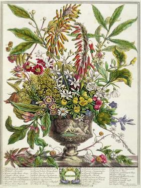 January, from Twelve Months of Flowers, by Robert Furber by Pieter Casteels