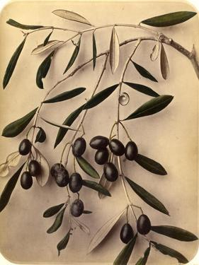 Olives, 1870s by Pietro Guidi
