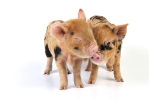 Pig 1 Week Old Kune Kune Piglets