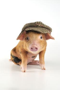 Pig 2 Week Old Oxford Sandy and Black Piglet