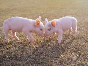Piglets Snout to Snout