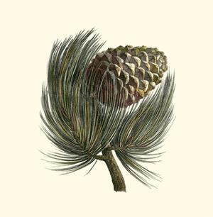 Pignon Pine