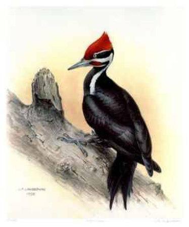 https://imgc.allpostersimages.com/img/posters/pileated-woodpecker_u-L-ERZGD0.jpg?artPerspective=n