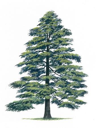 https://imgc.allpostersimages.com/img/posters/pinaceae-himalayan-cedar-cedrus-deodara_u-L-PW2RMT0.jpg?p=0