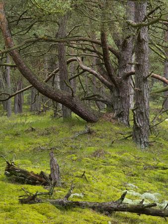 https://imgc.allpostersimages.com/img/posters/pine-trees-behind-the-baltic-dyke-schaabe-ruegen-mecklenburg-western-pomerania-germany_u-L-Q1EY1Y00.jpg?artPerspective=n