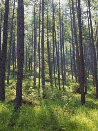 https://imgc.allpostersimages.com/img/posters/pine-trees-in-great-wood-borrowdale-lake-district-cumbria-england-united-kingdom-europe_u-L-P91M7J0.jpg?p=0
