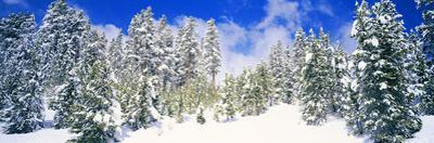 Pine Trees on a Snow Covered Hill, Breckenridge, Summit County, Colorado, USA