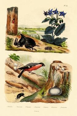 Pine Weevil, 1833-39