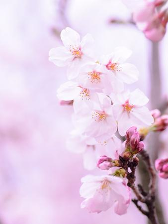 https://imgc.allpostersimages.com/img/posters/pink-cherry-blossom-japan_u-L-F8QHDV0.jpg?artPerspective=n
