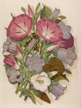 Pink Convolvulus (Bindweed) and Blue and White Campanula Medium Canterbury Bell) Depicted with Bees