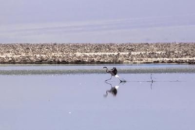 https://imgc.allpostersimages.com/img/posters/pink-flamingo-from-the-andes-in-the-salar-de-atacama-chile-and-bolivia_u-L-Q10VFJ20.jpg?p=0