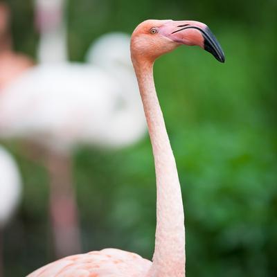 https://imgc.allpostersimages.com/img/posters/pink-flamingos_u-L-Q1033YS0.jpg?p=0