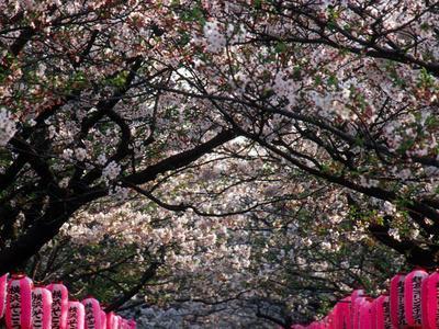 https://imgc.allpostersimages.com/img/posters/pink-lanterns-on-canopy-of-cherry-trees-in-bloom-kamakura-japan_u-L-P240200.jpg?p=0