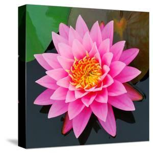 Pink Lotus Flower in Pond