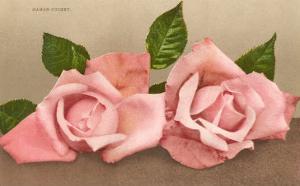 Pink Maman Cochet Roses