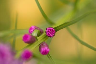 https://imgc.allpostersimages.com/img/posters/pink-tiny-flower-buds_u-L-Q1EXRJ10.jpg?artPerspective=n