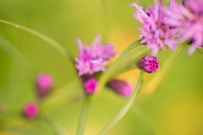 https://imgc.allpostersimages.com/img/posters/pink-tiny-flower-buds_u-L-Q1EXRRK0.jpg?artPerspective=n