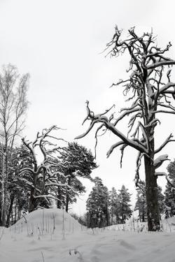 Bare Tree in Snow by PinkBadger