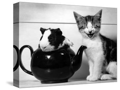 Pinkie the Guinea Pig and Perky the Kitten Tottenahm London, September 1978