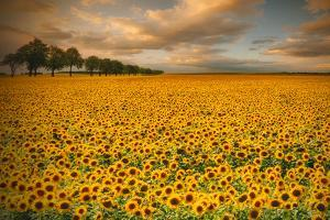 Sunflowers by Piotr Krol