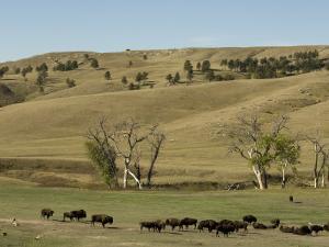 Bison Herd, Custer State Park, Black Hills, South Dakota, United States of America, North America by Pitamitz Sergio