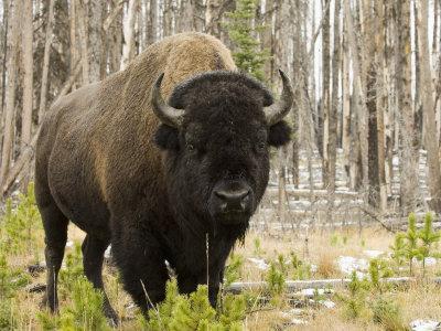 Bison, Yellowstone National Park, UNESCO World Heritage Site, Wyoming, USA