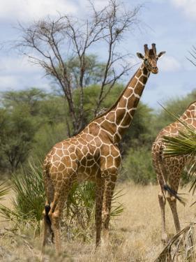 Reticulated Giraffe, Meru National Park, Kenya, East Africa, Africa by Pitamitz Sergio