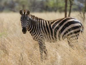 Zebra, Meru National Park, Kenya, East Africa, Africa by Pitamitz Sergio