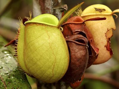 https://imgc.allpostersimages.com/img/posters/pitcher-plant-sarawak-borneo-malaysia_u-L-P240WC0.jpg?p=0