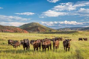 Open Range Cattle Grazing at Foothills of Rocky Mountains in Northern Colorado, Summer Scenery by PixelsAway