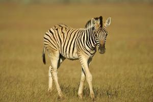 Plain Zebra Foal Wandering