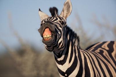 https://imgc.allpostersimages.com/img/posters/plains-zebra-baring-its-teeth_u-L-PZNCJO0.jpg?p=0