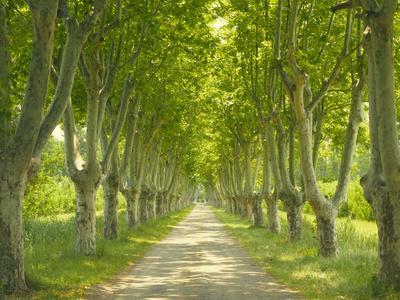 https://imgc.allpostersimages.com/img/posters/plane-trees-avenue_u-L-Q11YMW00.jpg?p=0