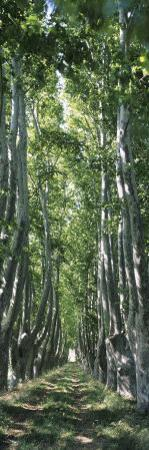 Plane Trees in a Forest, Provence, Provence-Alpes-Cote D'Azur, France