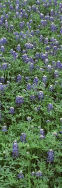 Plants, Bluebonnets, Austin, Texas, USA