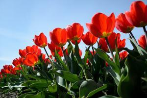 Red Tulips by pljvv