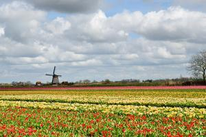 Tulips and A Windmill in Holland by pljvv