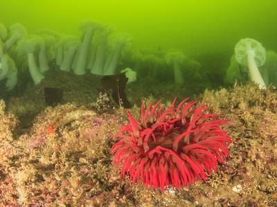 https://imgc.allpostersimages.com/img/posters/plumose-and-fish-eating-sea-anemones-foggy-bay-alaska-inside-passage_u-L-Q1D0BJZ0.jpg?artPerspective=n