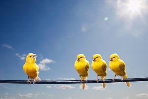 Four Canaries on Wire, One Bird Chirping by PM Images
