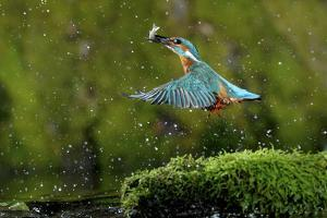 Common Kingfisher {Alcedo Atthis} Coming Up Out of Water with Fish, Lorraine, France by Poinsignon and Hackel