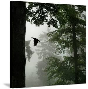Sillhouette of Black Woodpecker {Dryocopus Martius} Flying from Nest, Vosges Mountains, Lorraine by Poinsignon and Hackel