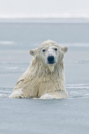 https://imgc.allpostersimages.com/img/posters/polar-bear-boar-plays-in-the-water-bernard-spit-anwr-alaska-usa_u-L-PN6Y260.jpg?artPerspective=n