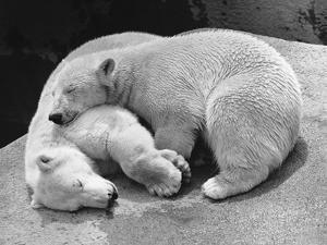 Polar Bear Cubs Asleep on a Rock