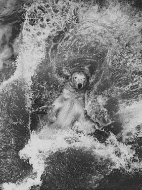 Polar Bear in Splash of Water