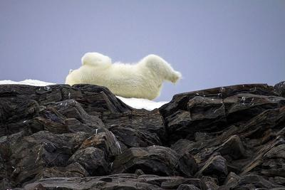 https://imgc.allpostersimages.com/img/posters/polar-bear-in-the-north-pole_u-L-Q10VES80.jpg?artPerspective=n
