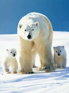 Polar Bear Parent with Cubs