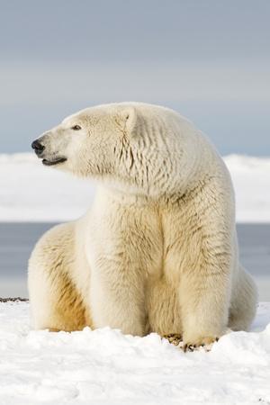 https://imgc.allpostersimages.com/img/posters/polar-bear-sits-along-barrier-island-bernard-spit-anwr-alaska-usa_u-L-PN6W710.jpg?p=0