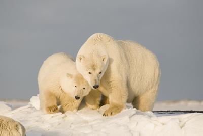 https://imgc.allpostersimages.com/img/posters/polar-bear-sow-with-a-2-year-old-cub-bernard-spit-anwr-alaska-usa_u-L-PN6Y2L0.jpg?p=0