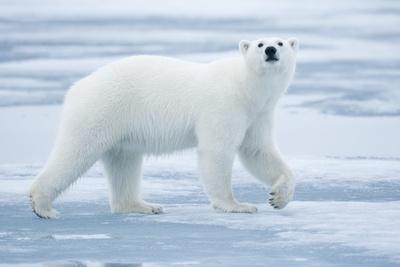 https://imgc.allpostersimages.com/img/posters/polar-bear-svalbard-norway_u-L-PZMSUT0.jpg?artPerspective=n