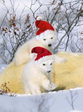Polar Bear Two Cubs Wearing Christmas Hats